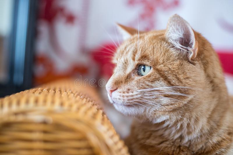 Red tabby cat is lying on the couch and enjoying at home. Close up picture of red tabby cat relaxing at home, pet, cozy, concept, indoor, lovely, sweet, soft royalty free stock photos
