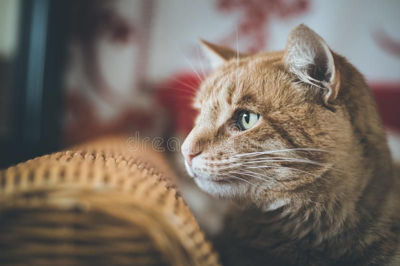Red tabby cat is lying on the couch and enjoying at home. Close up picture of red tabby cat relaxing at home, pet, cozy, concept, indoor, lovely, sweet, soft stock images
