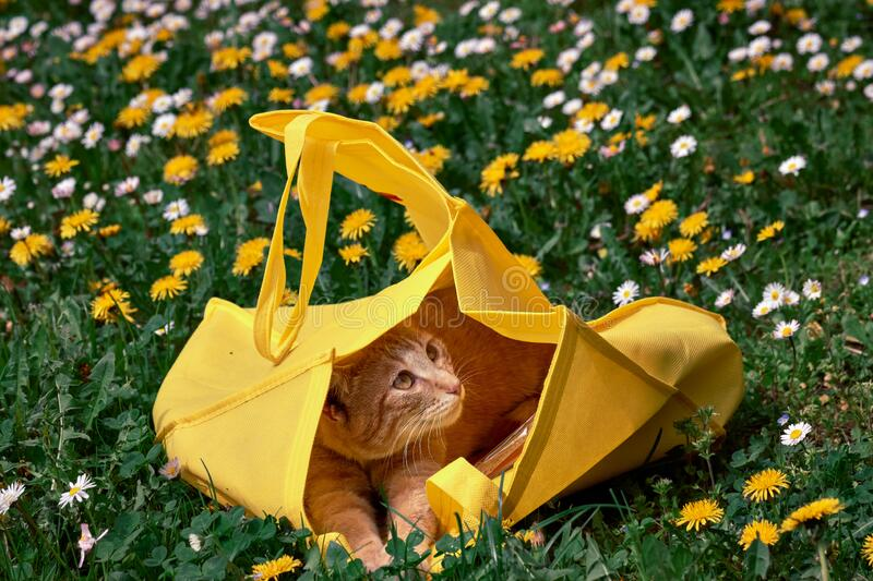 Red Tabby Cat portrait inside the yellow bag at garden. Red Tabby Cat portrait looks up inside the yellow shopping bag in the garden lawn with dandelion flower stock images