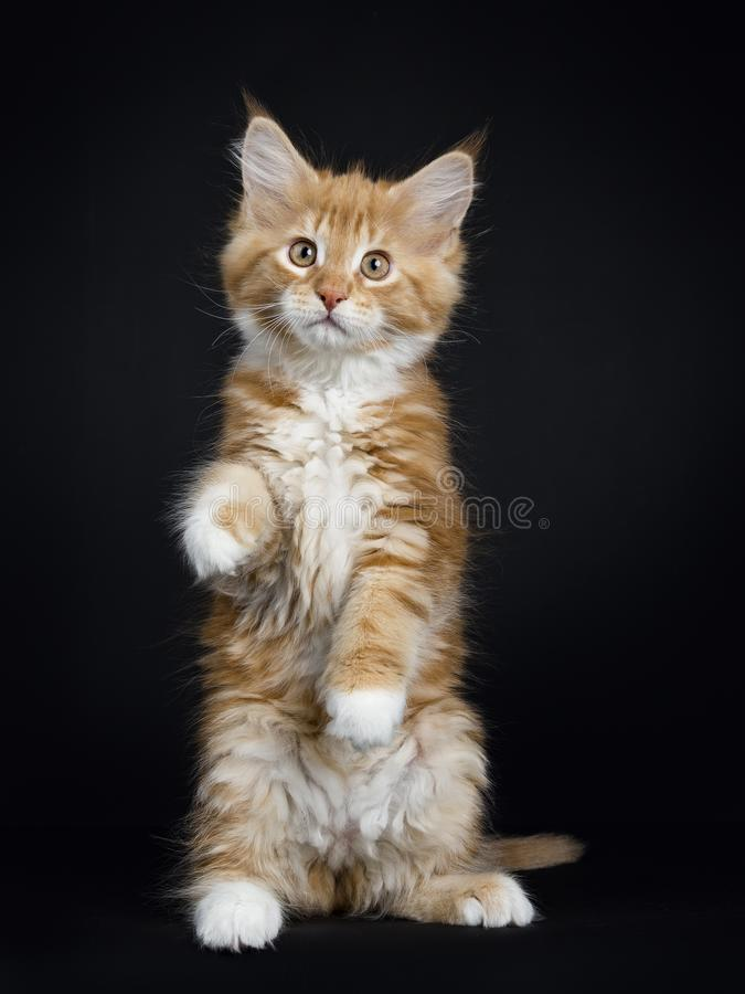 Red tabby with white Maine Coon kitten on black. Dancing red tabby with white Maine Coon cat / kitten standing on back paws like meerkat looking into the lens stock photo