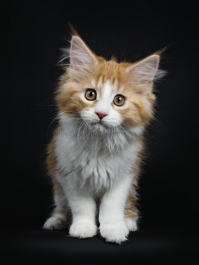 Red tabby with white Maine Coon kitten on black royalty free stock photo