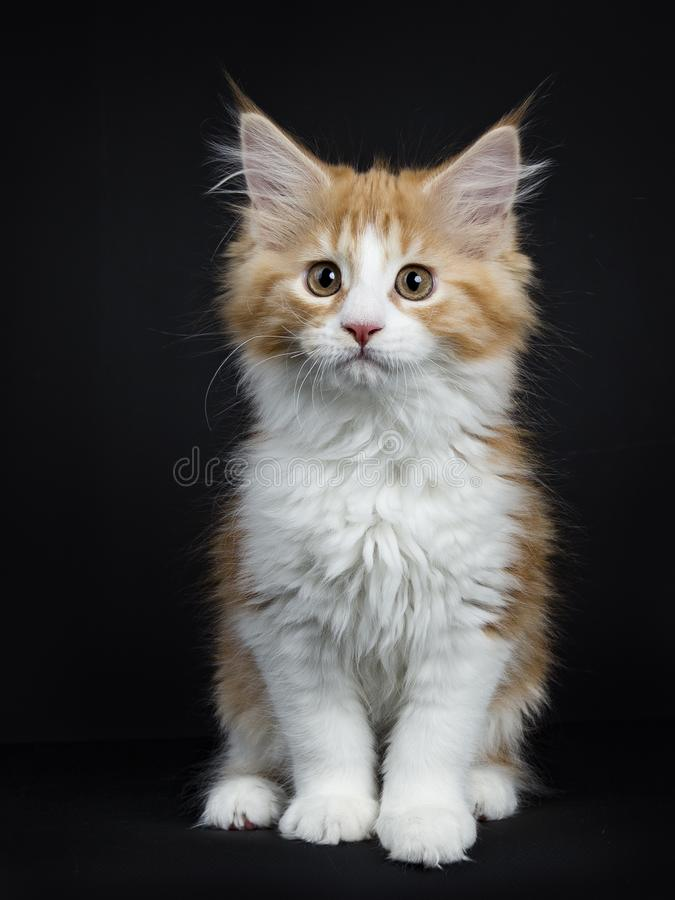 Free Red Tabby With White Maine Coon Kitten On Black Royalty Free Stock Image - 111494106