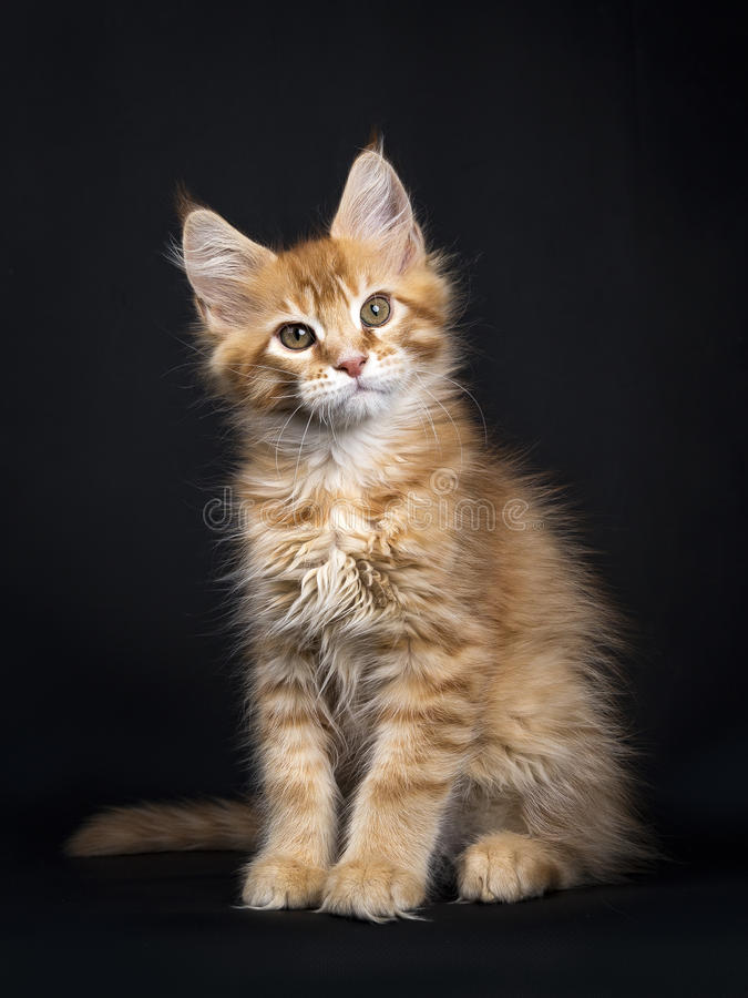 Free Red Tabby With White Maine Coon Kitten Orchidvalley Sitting On Black Background Facing Camera Stock Image - 94802191