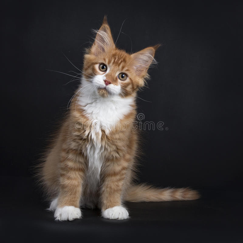 Free Red Tabby With White Maine Coon Kitten Sitting On Black Background Facing Camera Stock Photo - 94801910