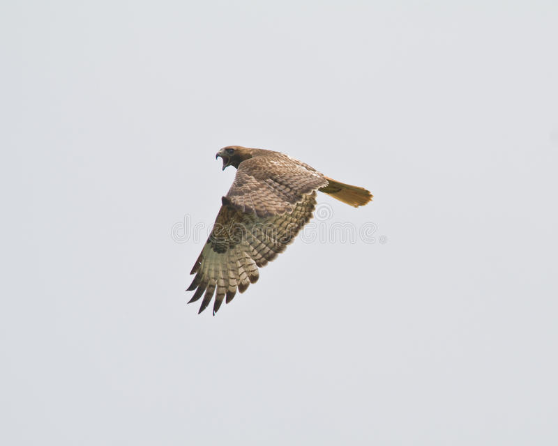 Download Red tail Hawk stock photo. Image of nature, predator - 14440098