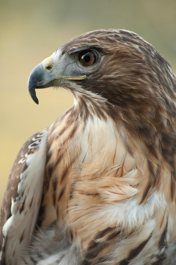 Free Red Tail Hawk Royalty Free Stock Photography - 14729417