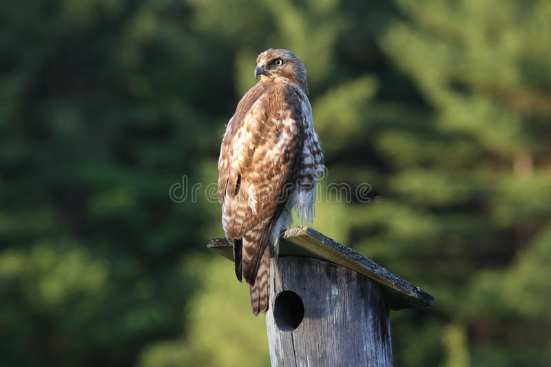 Download Red tail hawk stock photo. Image of young, raptor, birds - 29017566
