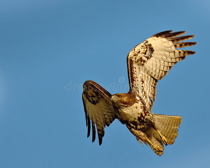 Red Tail Hawk. A Red Tail Hawk just taking off