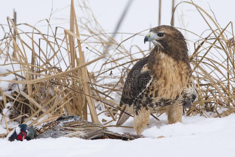 Red tail hawk with prey stock images