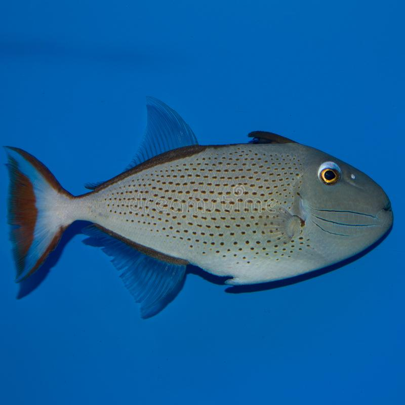 Red Tail Triggerfish. The Red Tail Triggerfish, also known as the Sargassum Triggerfish, comes from the Caribbean Ocean and is mostly purple in color. The sides royalty free stock image