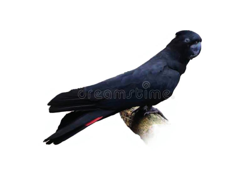 Red-tailed black cockatoo isolated on white background royalty free stock photo