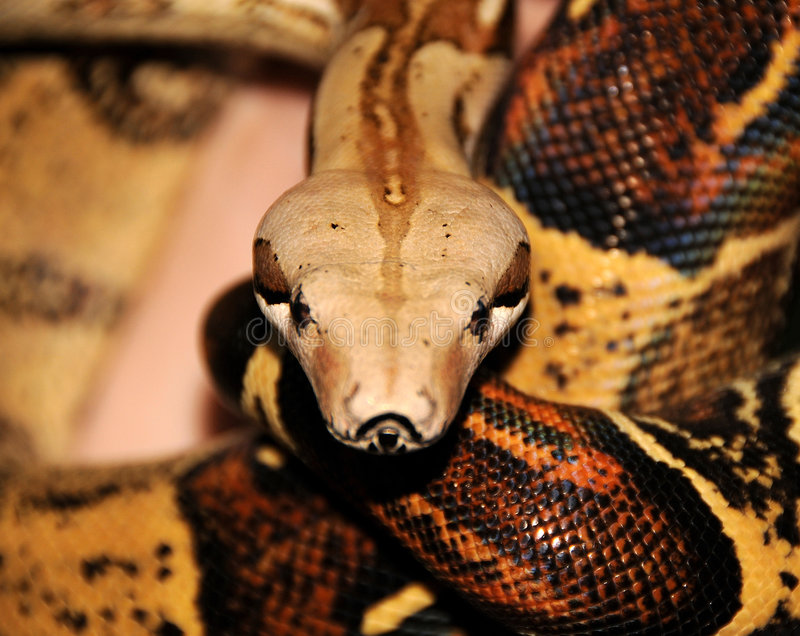 Download Red Tailed Boa Constrictor 2 Stock Image - Image of texture, eyes: 5262153
