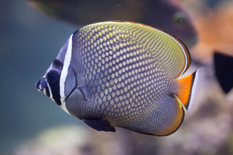 Red-tailed butterflyfish (Chaetodon collare). Also known as the Pakistani butterflyfish royalty free stock photography