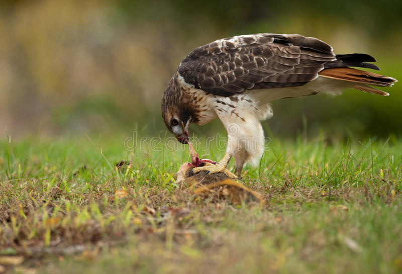 Download Red Tailed Hawk stock image. Image of carrion, field - 11601933