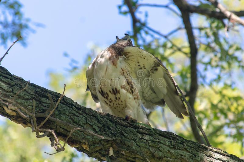 Red-Tailed Hawk squawks at nearby blue jays letting them know who is boss. Red-Tailed Hawk squawks at nearby blue jays letting them know who is boss in Canada stock photography