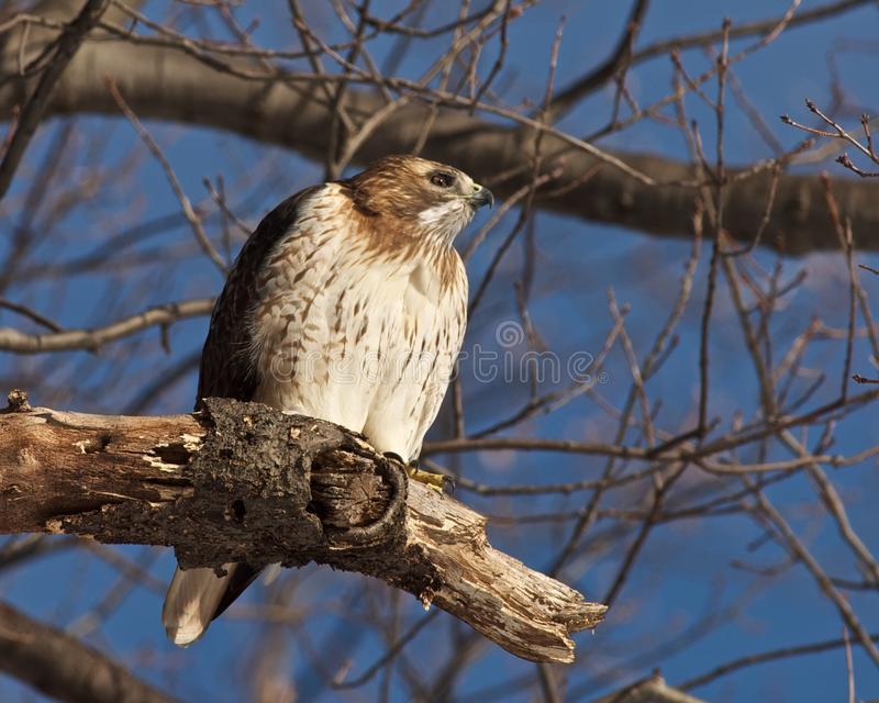 Download Red Tailed Hawk stock image. Image of trees, travel, brookdale - 18641699