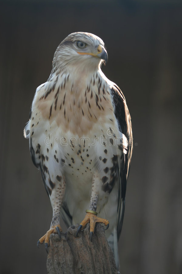 Red tailed hawk 2 stock image
