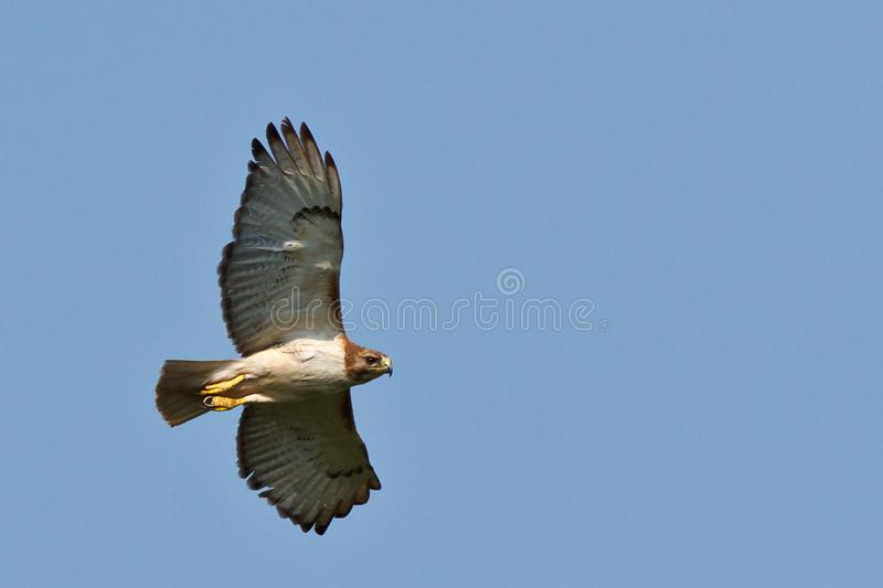 Download Red-tailed Hawk stock image. Image of flight, flying - 21451781