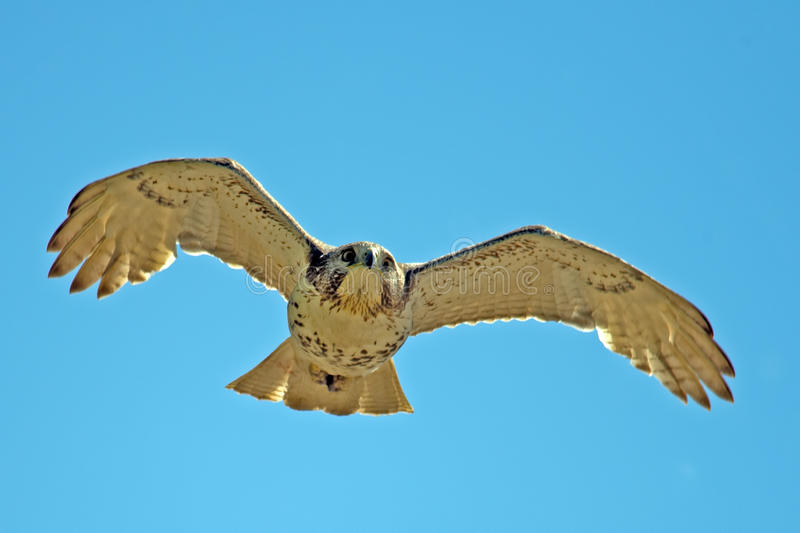 Download Red-Tailed Hawk Royalty Free Stock Images - Image: 24735759