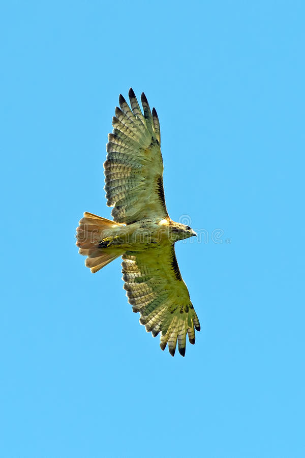 Download Red-Tailed Hawk stock image. Image of tailed, bird, jamaicensis - 26032071