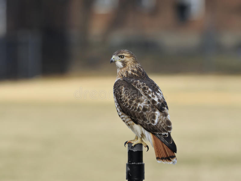 Red-tailed hawk. A wild Red-Tailed Hawk perched on the fence royalty free stock images