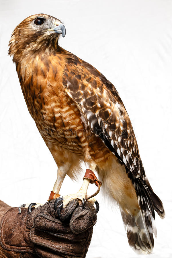 Red-tailed Hawk Royalty Free Stock Photos