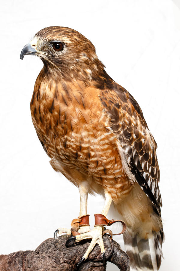 Download Red-tailed Hawk stock image. Image of white, view, single - 26956933