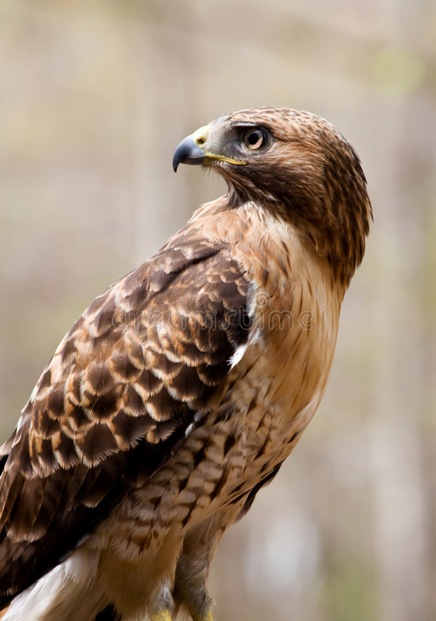 Free Red Tailed Hawk Royalty Free Stock Images - 5867489