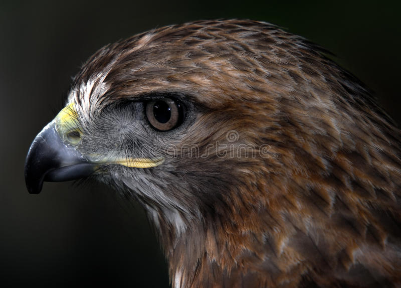Download Red-tailed hawk stock image. Image of raptor, wild, avian - 9891625