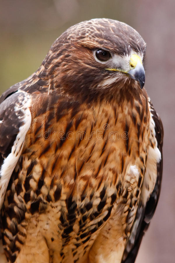 Red-tailed Hawk With Beautiful Plumage Stock Photo - Image ...