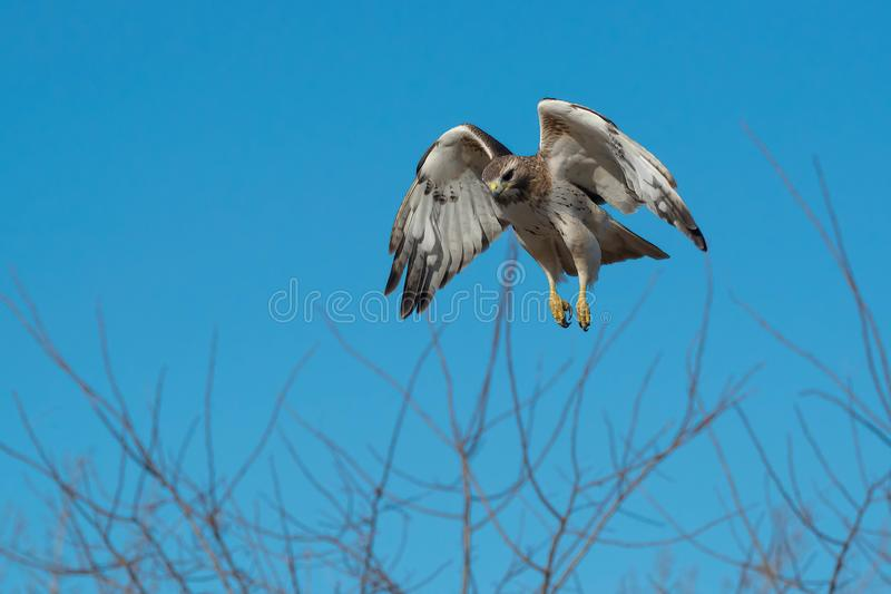 Red-tailed Hawk - Buteo jamaicensis. Red-tailed Hawk hovering in mid air, looking down at potential prey. Colloquially known as a Chicken Hawk in some places royalty free stock image