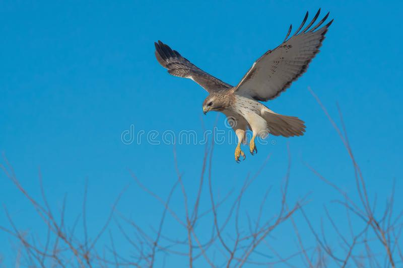 Red-tailed Hawk - Buteo jamaicensis. Red-tailed Hawk hovering in mid air, looking down at potential prey. Colloquially known as a Chicken Hawk in some places royalty free stock photo