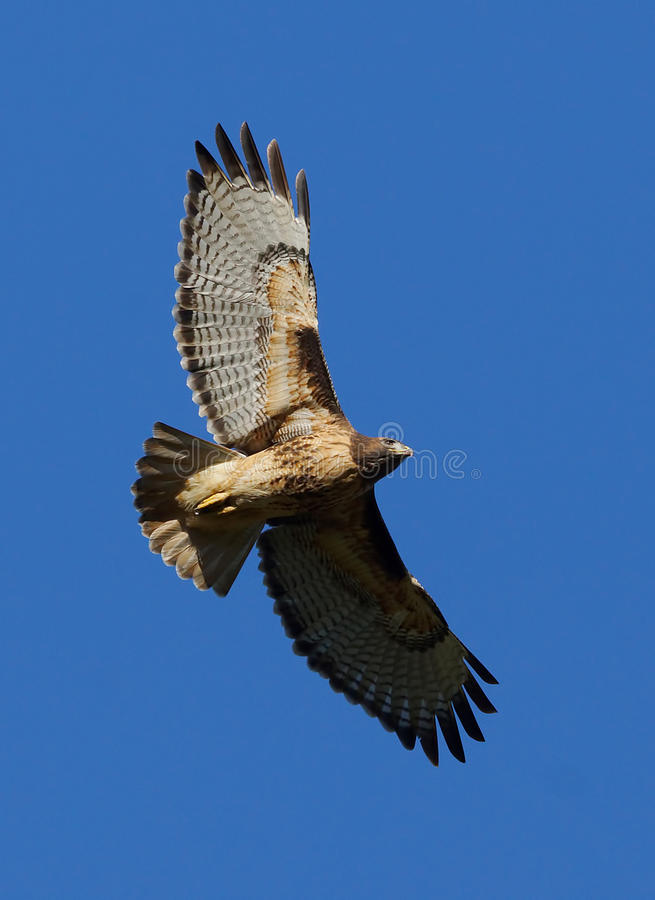 Red Tailed Hawk - Buteo jamaicensis stock photo