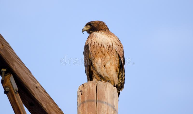 Red Tailed Hawk raptor on telephone pole in Tucson Arizona desert. Red-Tailed Hawk, Buteo jamaicensis, perched on telephone pole. The red-tailed hawk is a bird stock image