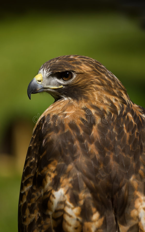 Free Red-Tailed Hawk (Buteo Jamaicensis) Profile Royalty Free Stock Image - 779236