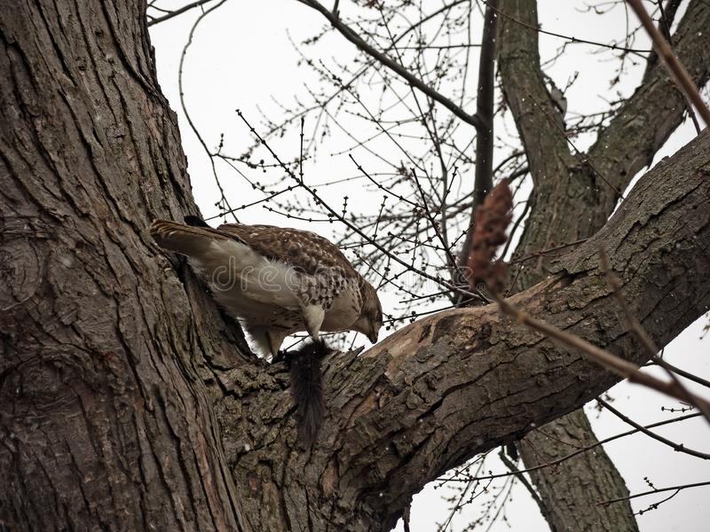 Red tailed hawk caught a squirrel royalty free stock image