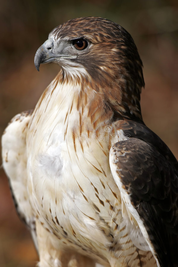 Free Red Tailed Hawk Closeup Royalty Free Stock Photos - 410338