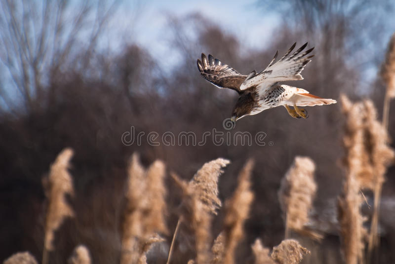 Download Red-Tailed Hawk Diving On Prey Stock Image - Image: 23179239
