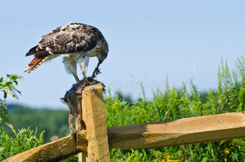 Download Red-Tailed Hawk Eating Captured Rabbit Stock Image - Image: 42426115