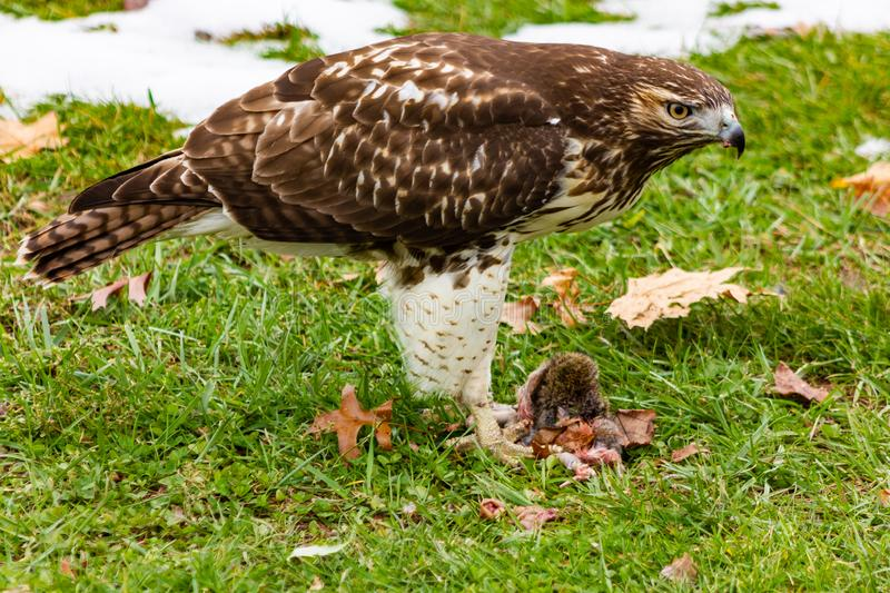Red-tailed hawk eating a ground squirrel. Red-tailed hawk Buteo jamaicensis is a bird of prey that breeds throughout most of North America, from the interior of stock photography