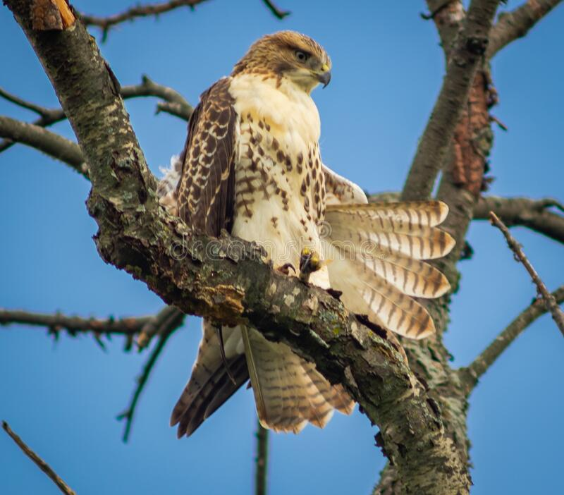 Red-tailed Hawk Fanning It`s Feathers royalty free stock images