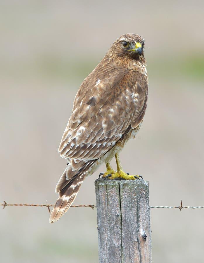 Red tailed hawk on fence post looking for prey, big sur, california. eagle bird raptor. Magnificient red tailed hawk on fence post alert looking for prey, big royalty free stock photos