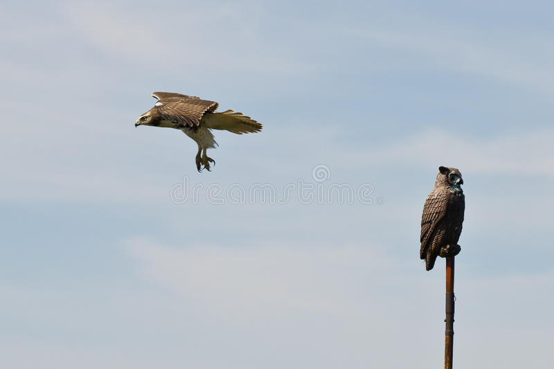 Download Red Tailed Hawk Flying Past Artificial Owl Stock Photo - Image: 26863406