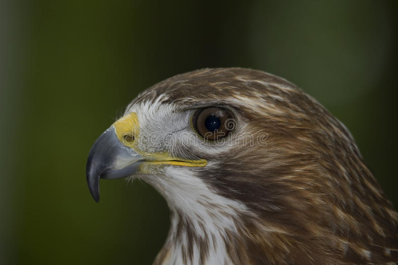 Red tailed Hawk II royalty free stock photography