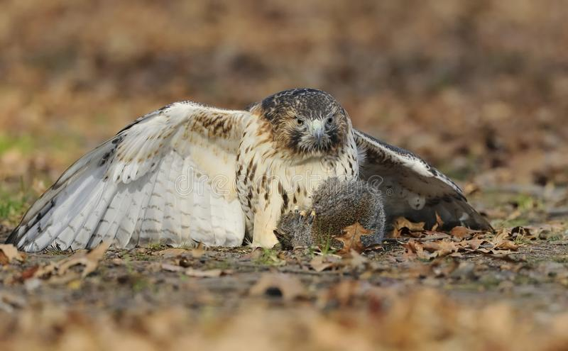Red-tailed hawk just has caught a squirrel royalty free stock image