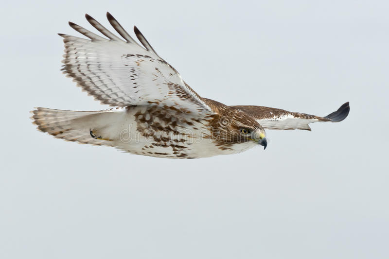 Download Red-tailed Hawk stock image. Image of environmental, flight - 46338453
