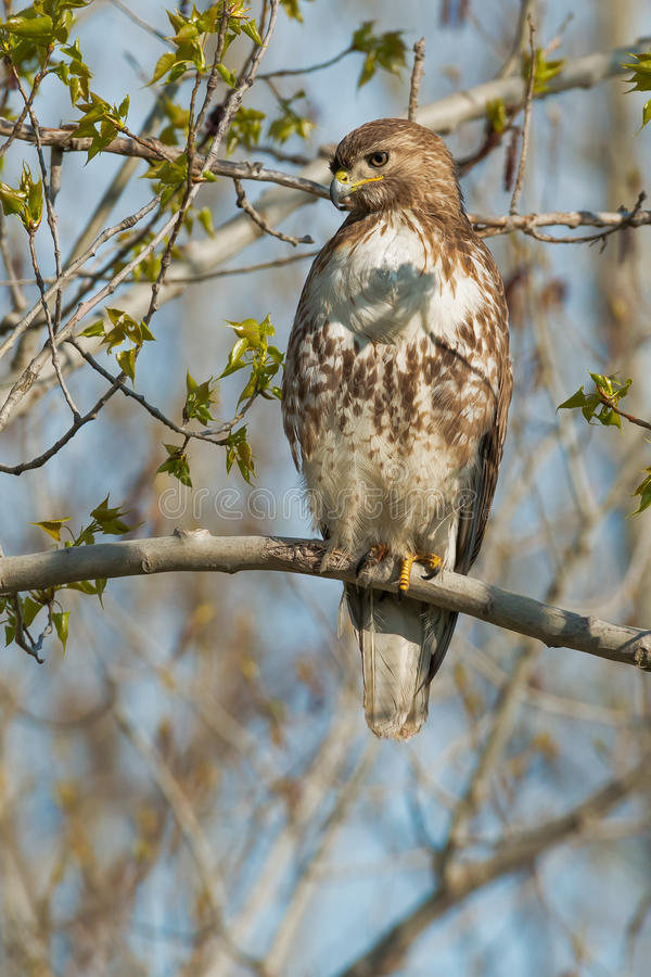 Red-tailed Hawk. Juvenile Red-tailed Hawk perched on a branch. Tommy Thompson Park, Toronto, Ontario, Canada stock photography