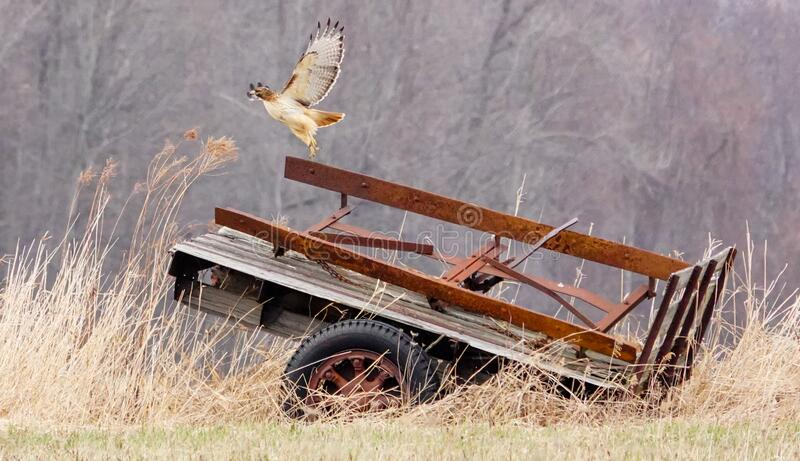 Red-tailed Hawk Liftoff from an Old Wagon royalty free stock photos