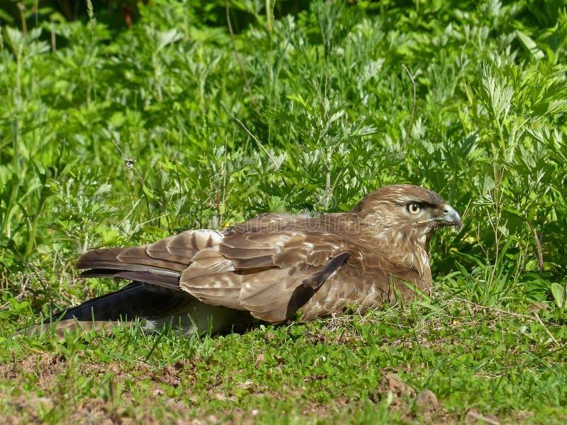 Red Tailed Hawk op gras 2 royalty-vrije stock afbeeldingen
