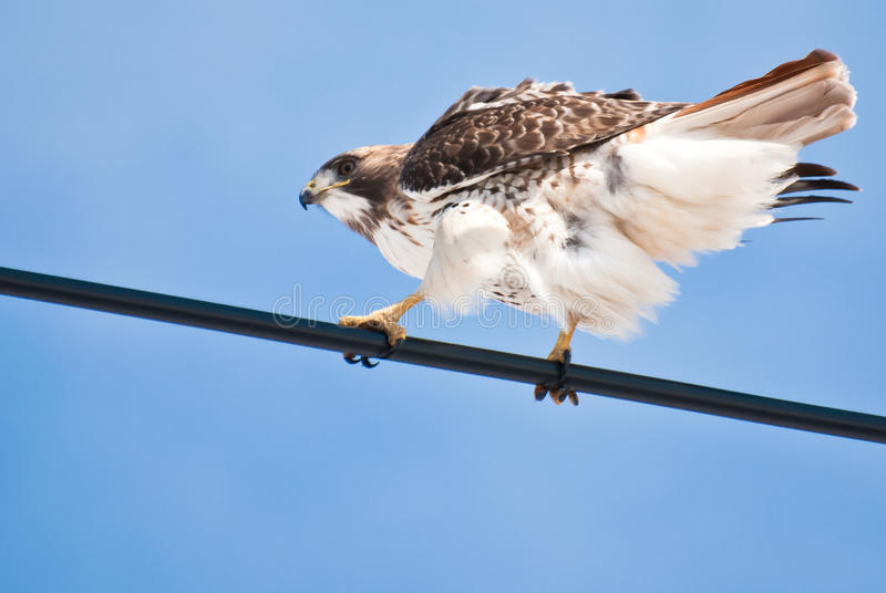 Red-Tailed Hawk Perched On Wire Royalty Free Stock Photos